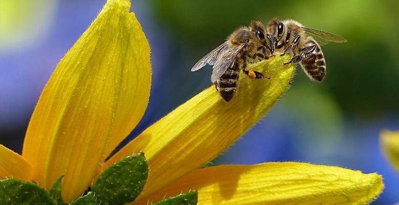 Comment sauver les abeilles normandes ?